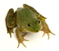 The Tsarevna Frog