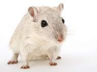 Mongolian gerbil like those in some stories