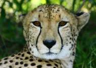 A cheetah from Namibia like in the stories